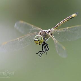 Dragonflies in Flight Pt III (e-m1 mk ii + 300mm f4 pro)