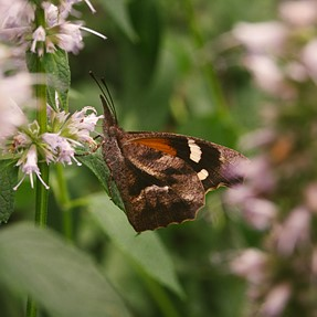 American snout butterfly - KP and DA* 16-50