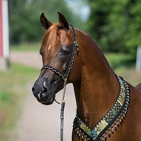 Photoshoot - Arabian horse