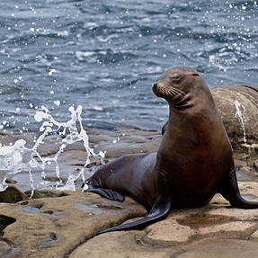 Seals and Sea Lions of La Jolla