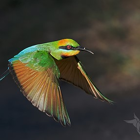 Bee-eaters continued.....(E-M1 mk ii + 300mm f4)