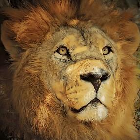Nikon P1000 - Lion Close up