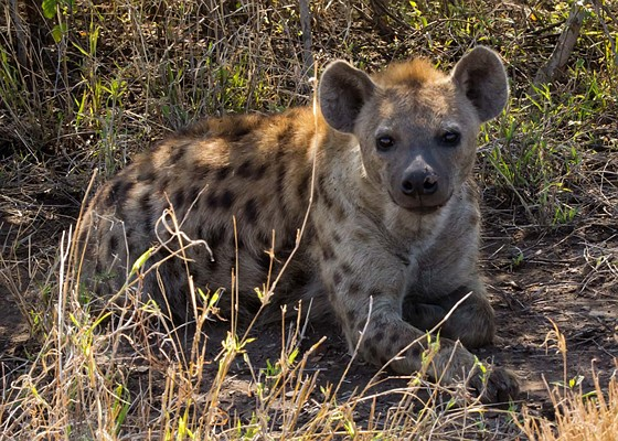 Hyena 2014 Review Serengeti Spott...