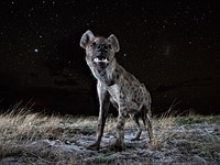 Photo of the week: Hyena at Night