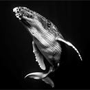 Swimming with giants: Black and white whale portraiture by Jem Cresswell