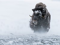 Frozen Warriors: Capturing the mighty musk ox in its natural habitat
