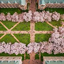 Bird's eye view: Photographing Cherry Blossoms with the DJI Phantom 4