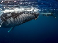 Photo of the week: Swimming with Humpback whales in Tonga
