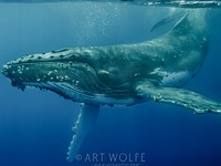 Art Wolfe: Swimming with the Humpbacks, Tonga, 2013