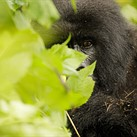 Almost human: photographing critically endangered mountain gorillas