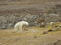 National Geographic photographer shares heart-wrenching video of starving polar bear