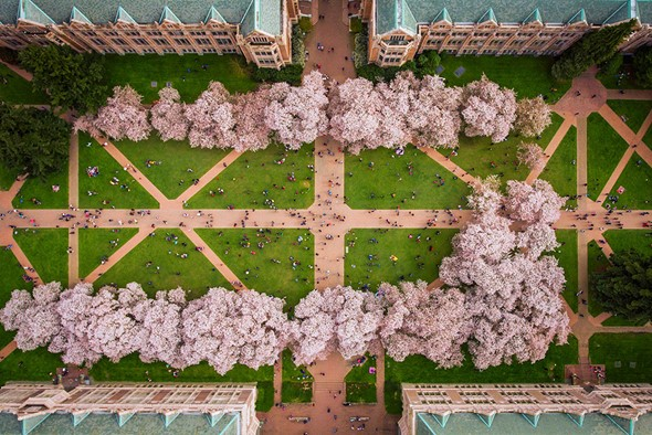 The Cherry Blossoms At University Of Washington Are A Hugely Popular Attraction Every Spring In Seattle Weekends During Peak Blossom Bring