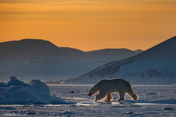 Shooting polar bears with the $12,000 Nikon 180-400mm F4E