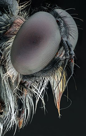 Professional competition, Natural World & Wildlife, Finalist, 2020: 'robber fly 5x' by Adalbert Mojrzisch (Germany)