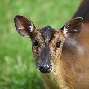 D750 cheeky deer.