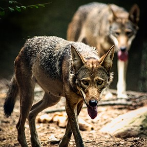 Endangered Red Wolves