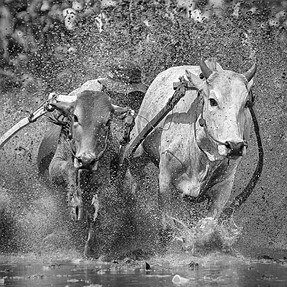 Action Photos (Bullracing) in Black and White