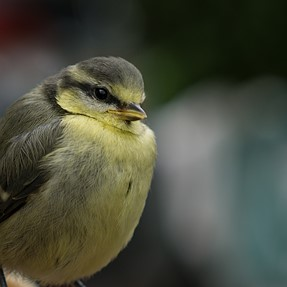 Juvenile Blue Tit - Opinions on the crop?