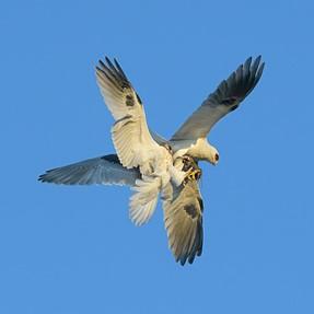 D500 and 10fps, Kites exchanging prey in midair