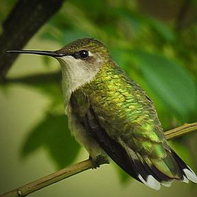 "A ""dry"" hummingbird...."