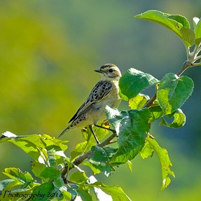 Fujifilm HS50EXR: Morning beauty (Whinchat)