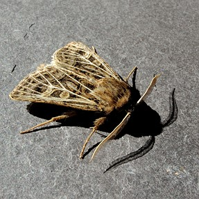 P7700 Feathered Gothic moth