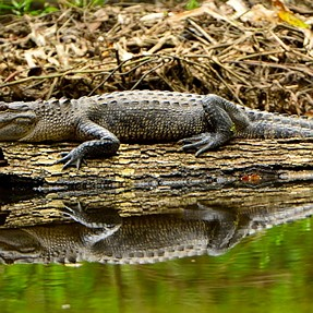 Bayou Tortue alligator