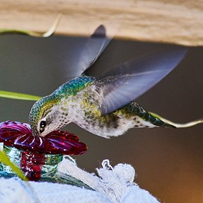 A77ii + Adapted 300f4AF Nikkor ED and Anna's Hummer