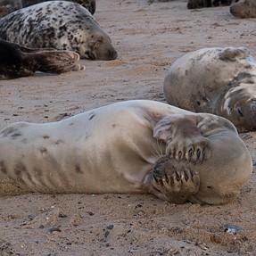 Seals at Horsey Beach ( Norfolk )