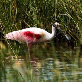 Spoonbill and Pelican from Trip to Texas Gulf Coast