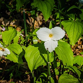 Trilliums, Virginia Bluebells and a Frog