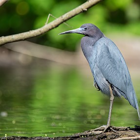 More Little Blue Heron- Sharper