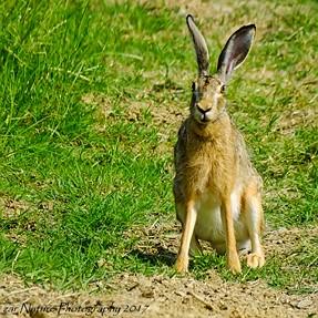Vineyard Runner - European Hare (Lepus europaeus)