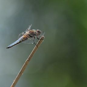 Dragonflies and demoiselles ...