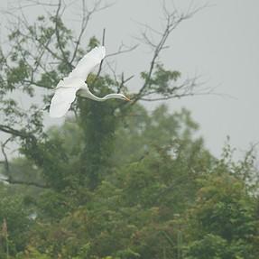 Great egret in fog