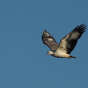 Sea Eagle cruising by
