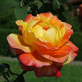 I know I know .... damd roses again.