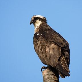 A newly found osprey
