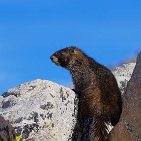 Mt. Evans wildlife