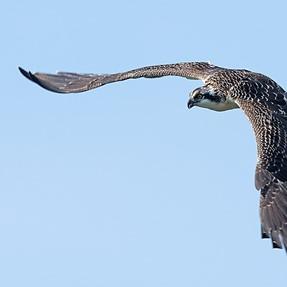 The osprey fledge