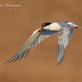 Wings Forward, Flaps Back... Common Tern