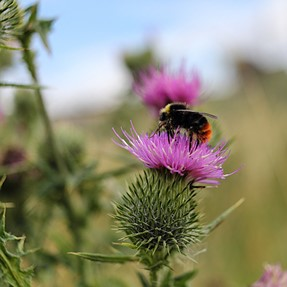 550D + EFS24mm: Bee on thistle