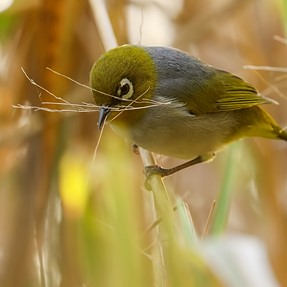 Silvereyes and dragonflies