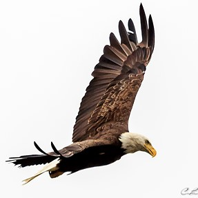 Eagle for play