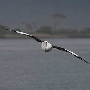 The good old Pelican always obliges