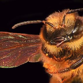 Honey bee 292 image stack