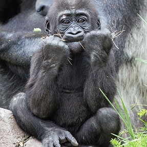 how to process gorilla photograph