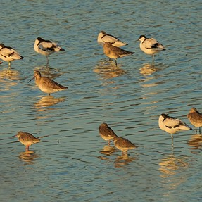 Shorebirds, from few to ... wallpaper.....