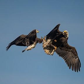 Amazing D850 meets amazing American Bald Eagles