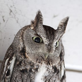 Owl on my porch